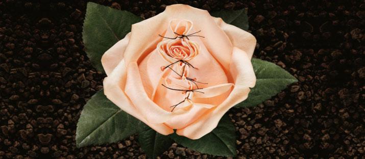 Rosa cucita
